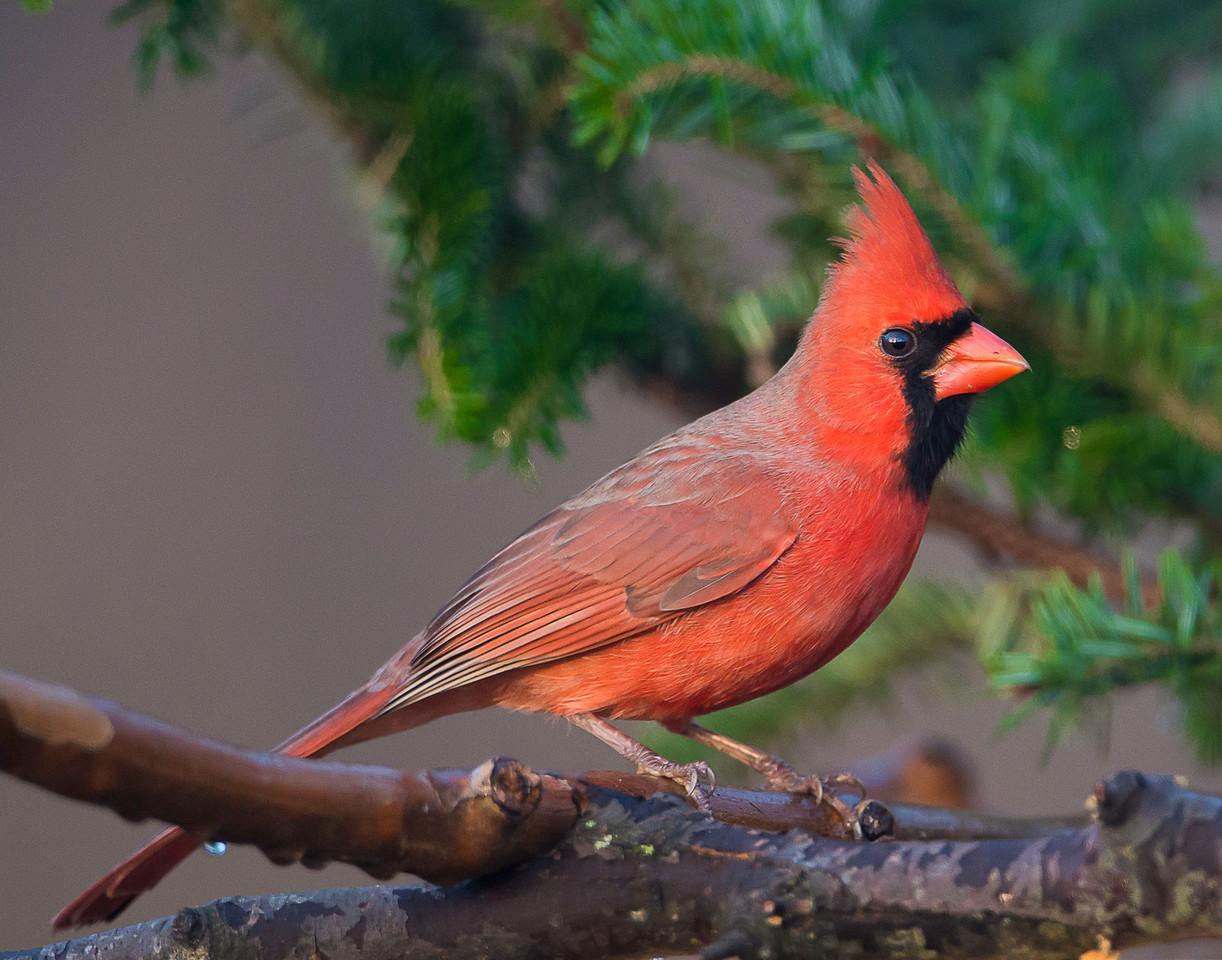 The Cardinal Story
