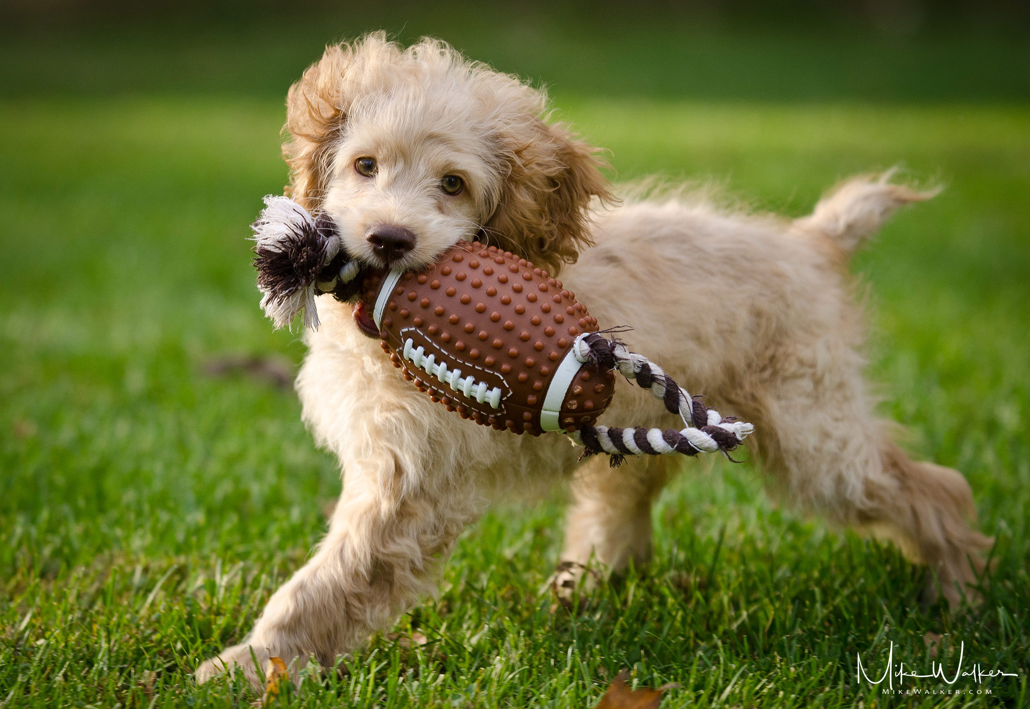 Jovi with Football Pet Photography © Mike Walker