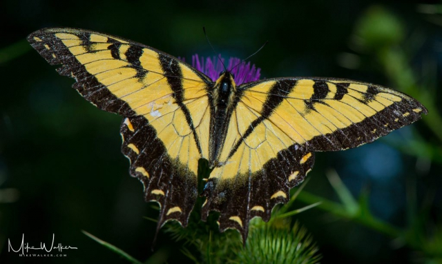 Butterfly on Thistle from the top. Nature photography by Mike Walker.