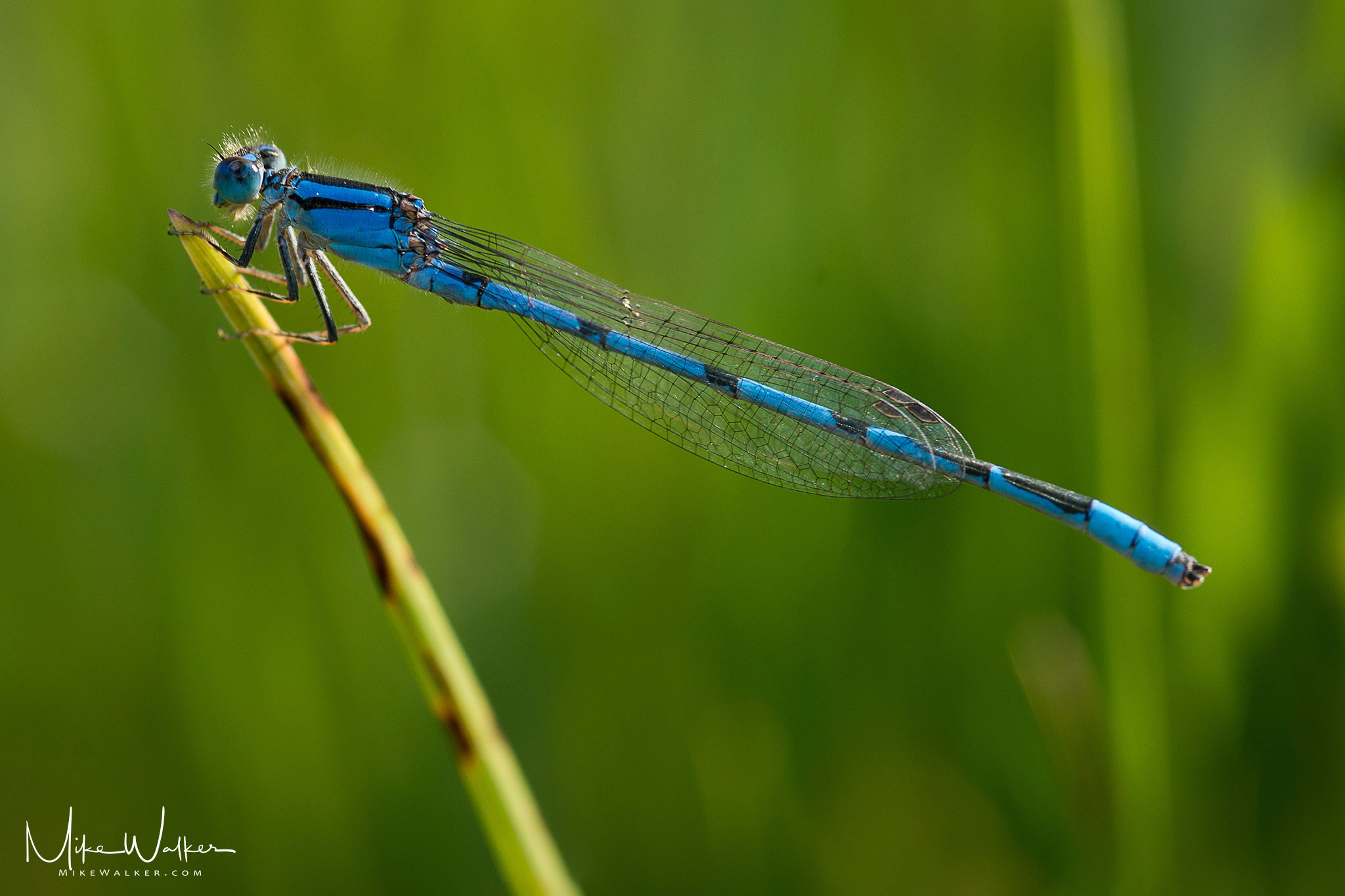 Blue damselfly on a blade of grass. Nature photography by Mike Walker.