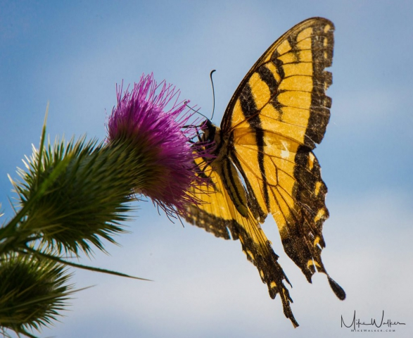 Butterfly on Thistle. Nature photography by Mike Walker.