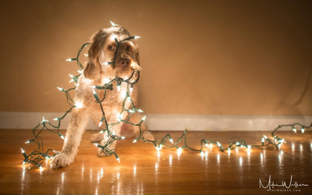 Dog tangled in Christmas lights. Pet photography by Mike Walker.