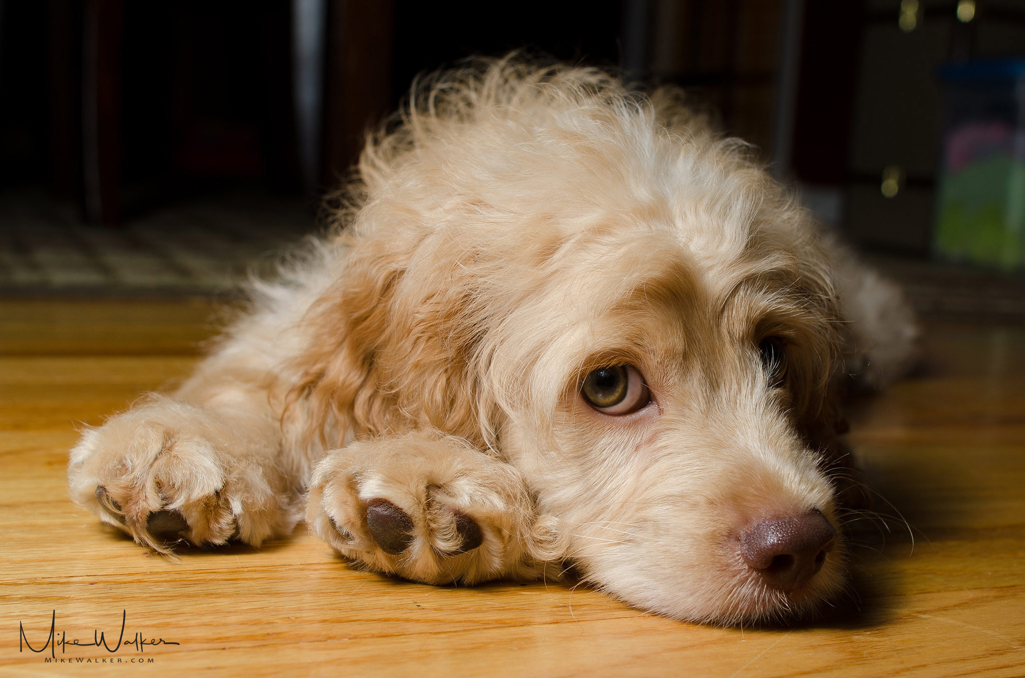 Cockapoo resting on the floor. Animal photography by Mike Walker.