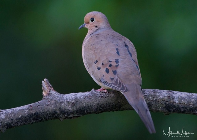 Mourning dove perched on a branch. Nature photography by Mike Walker.