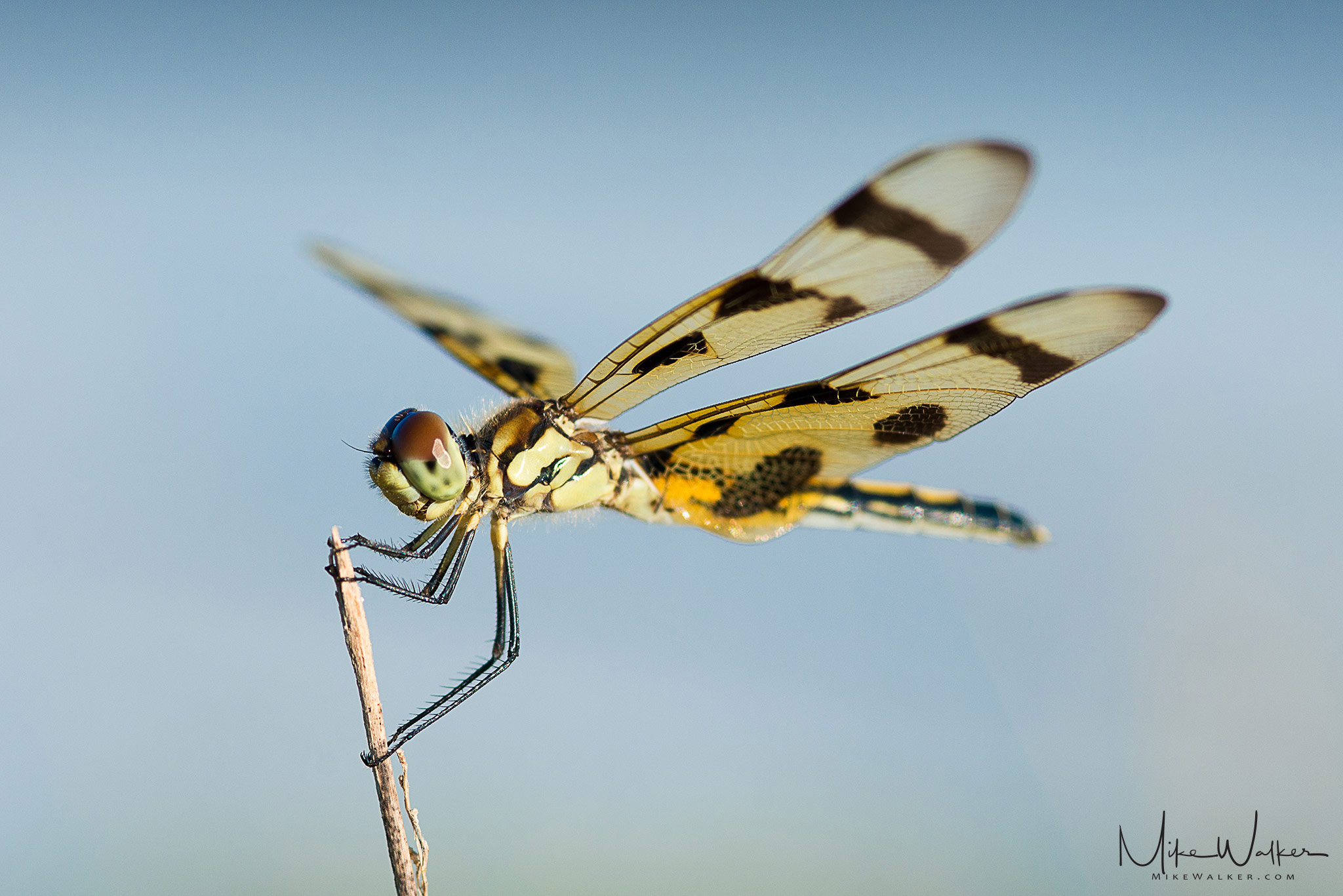 Dragonfly in the summer. Nature photography by Mike Walker.