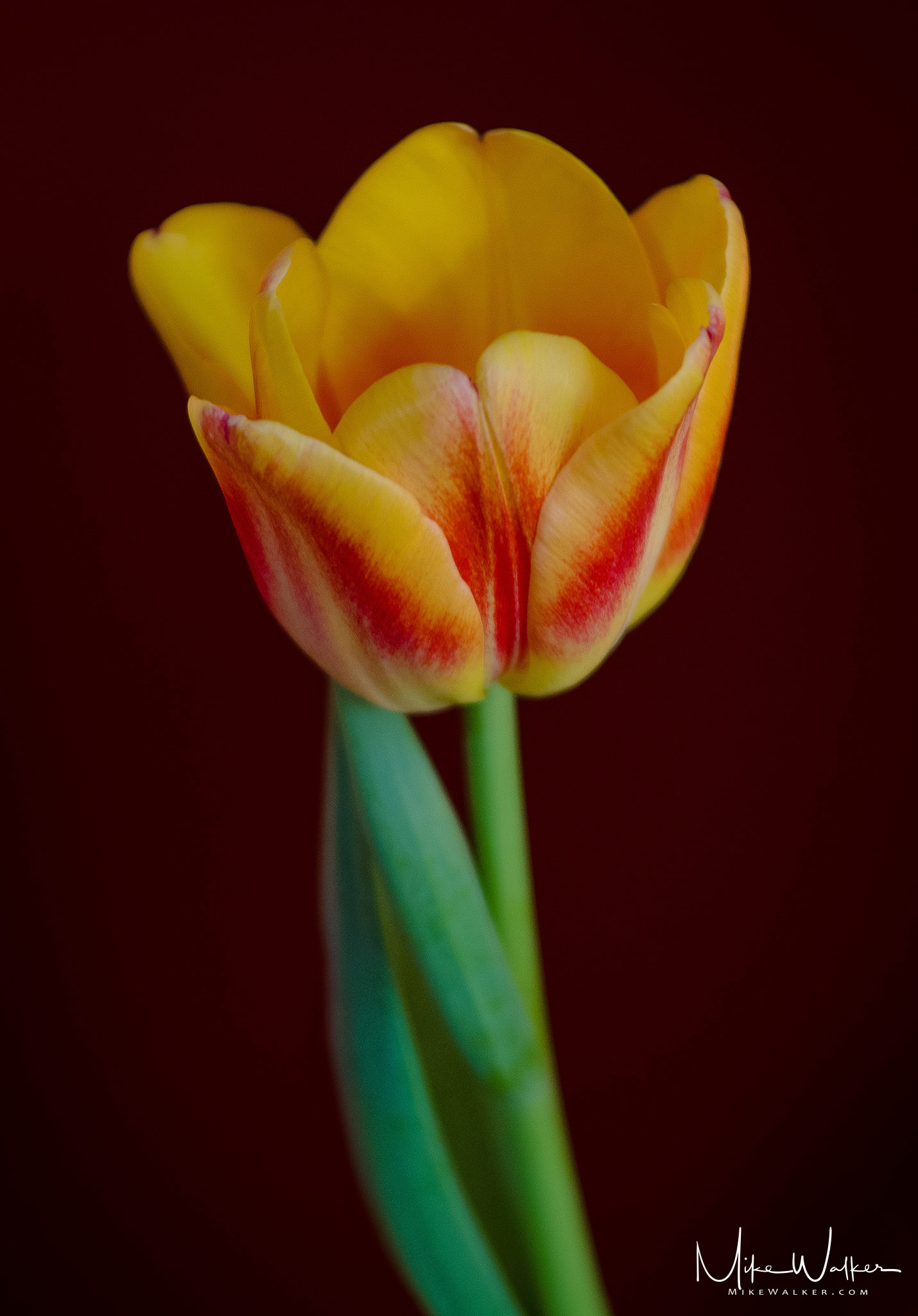 A single tulip against a dark red background. Nature photography by Mike Walker.