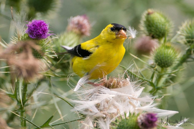 Goldfinch on thistle. Nature photography by Mike Walker.