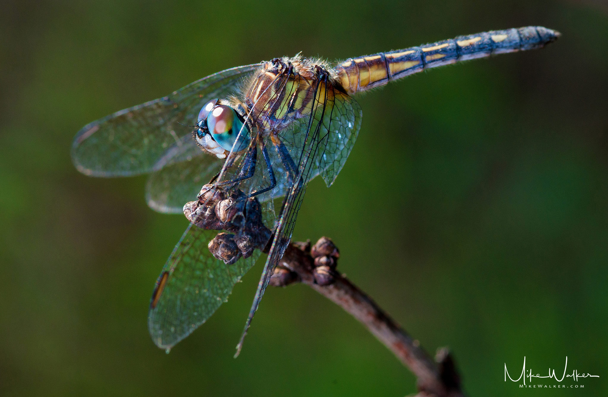 Closeup of a dragonfly on a branch. Nature photography by Mike Walker.