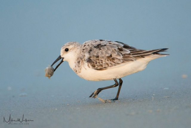 Bird eating breakfast on the beach. Nature photography by Mike Walker.