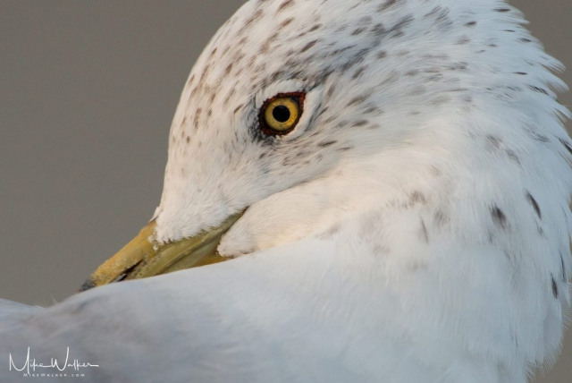 Closeup of a seagull at the Jersey shore. Nature photography by Mike Walker.