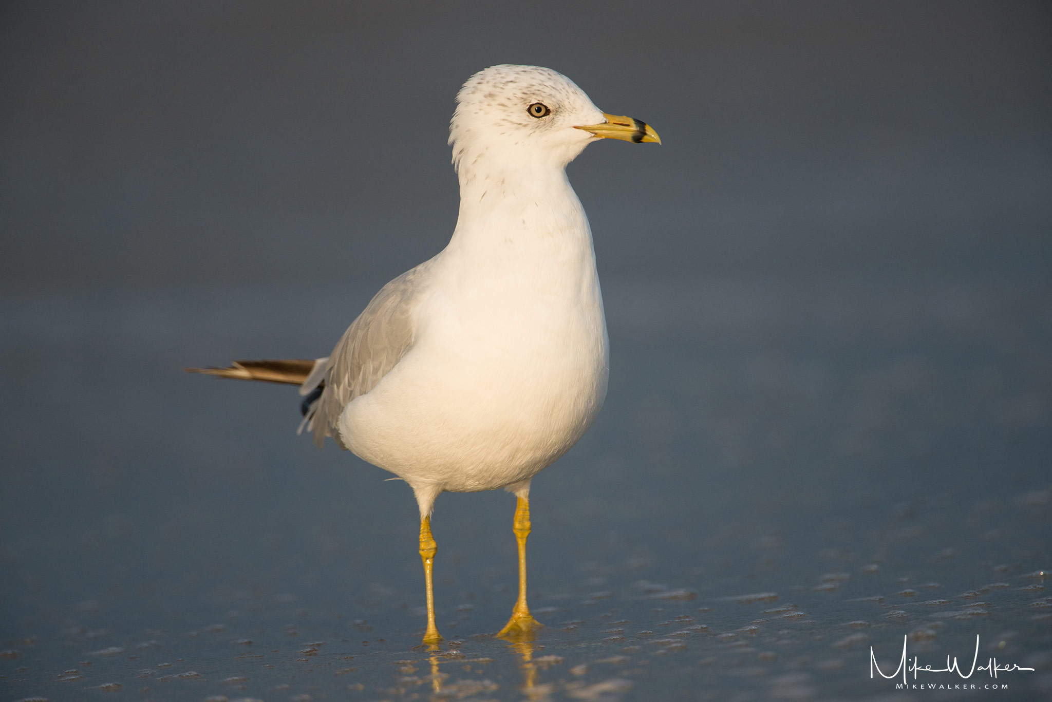 Seagull on the beach in the morning. Nature photography by Mike Walker.