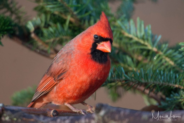American male cardinal perched on a branch. Nature photography by Mike Walker.