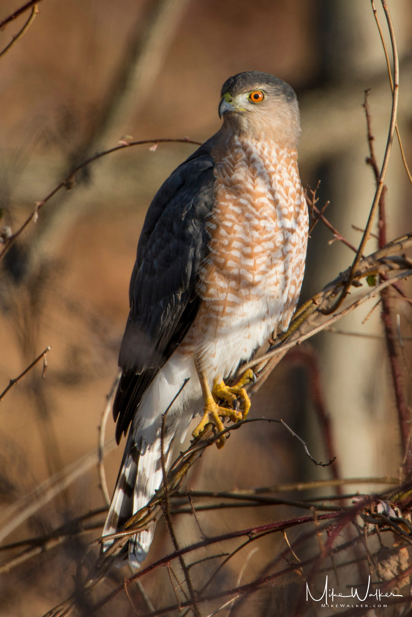 Cooper's Hawk perched on some branches. Nature photography by Mike Walker.