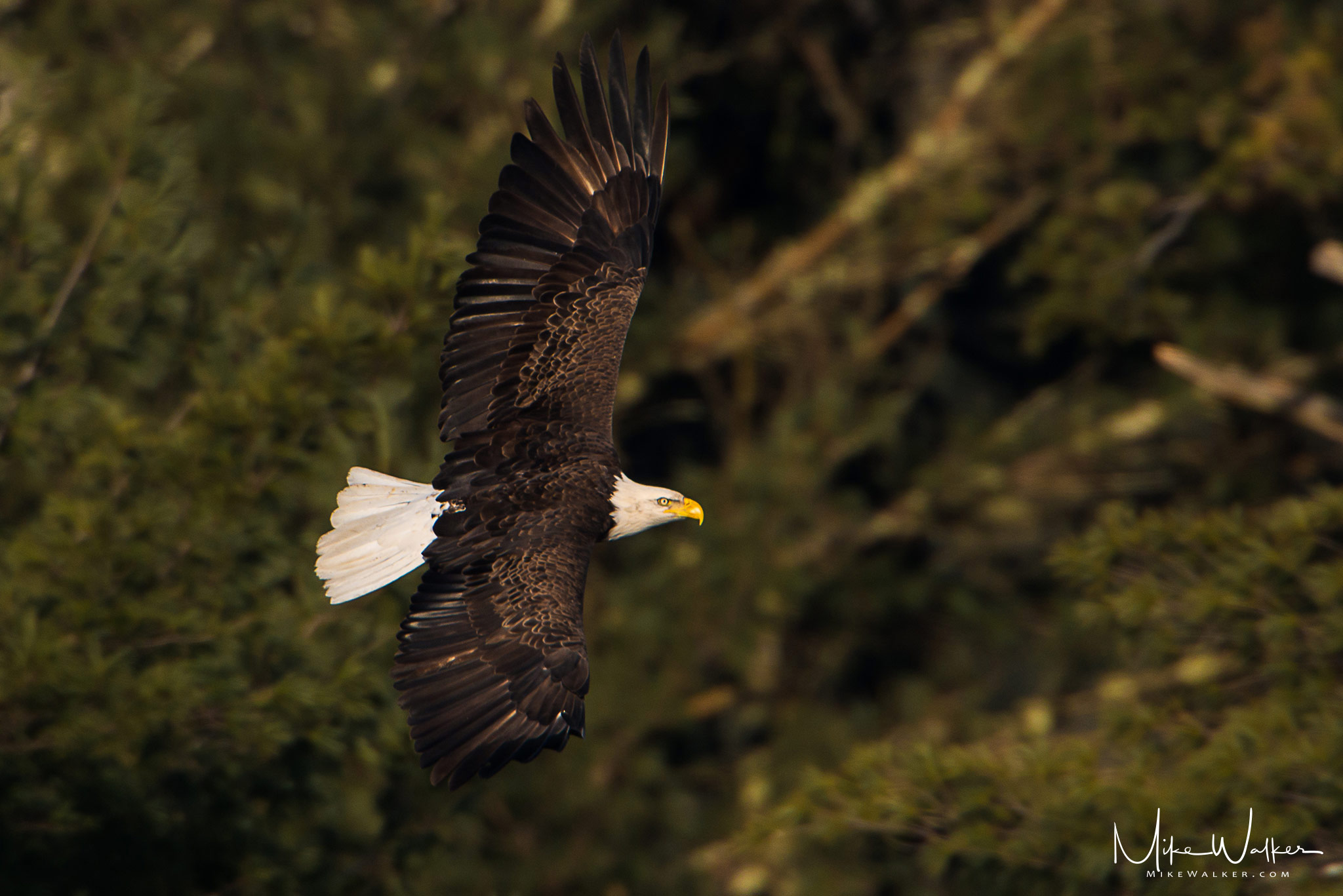 Bald eagle soaring through the air with trees in the background. Nature photography by Mike Walker.