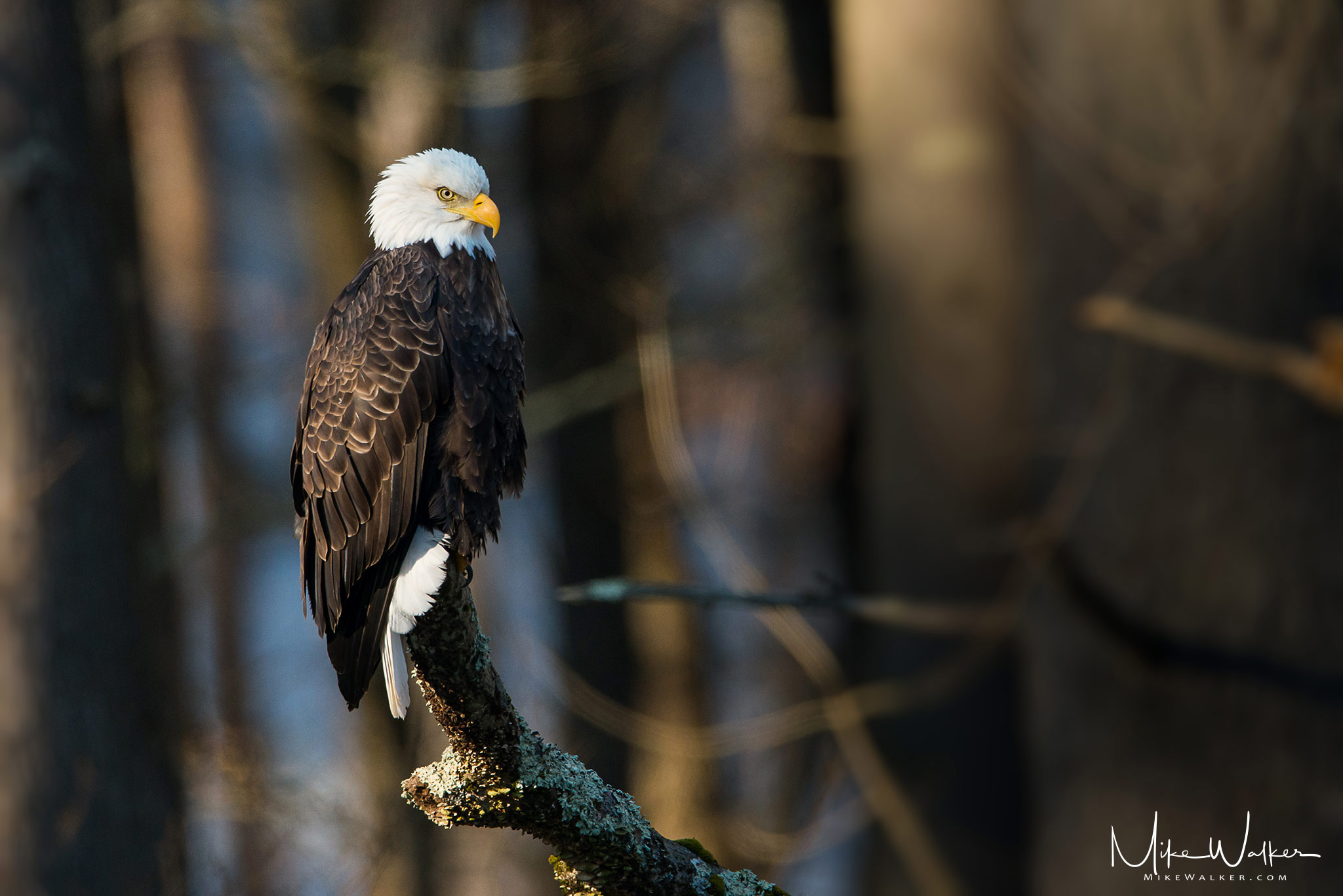 Bald eagle perched on a branch in the wild. Nature photography by Mike Walker.