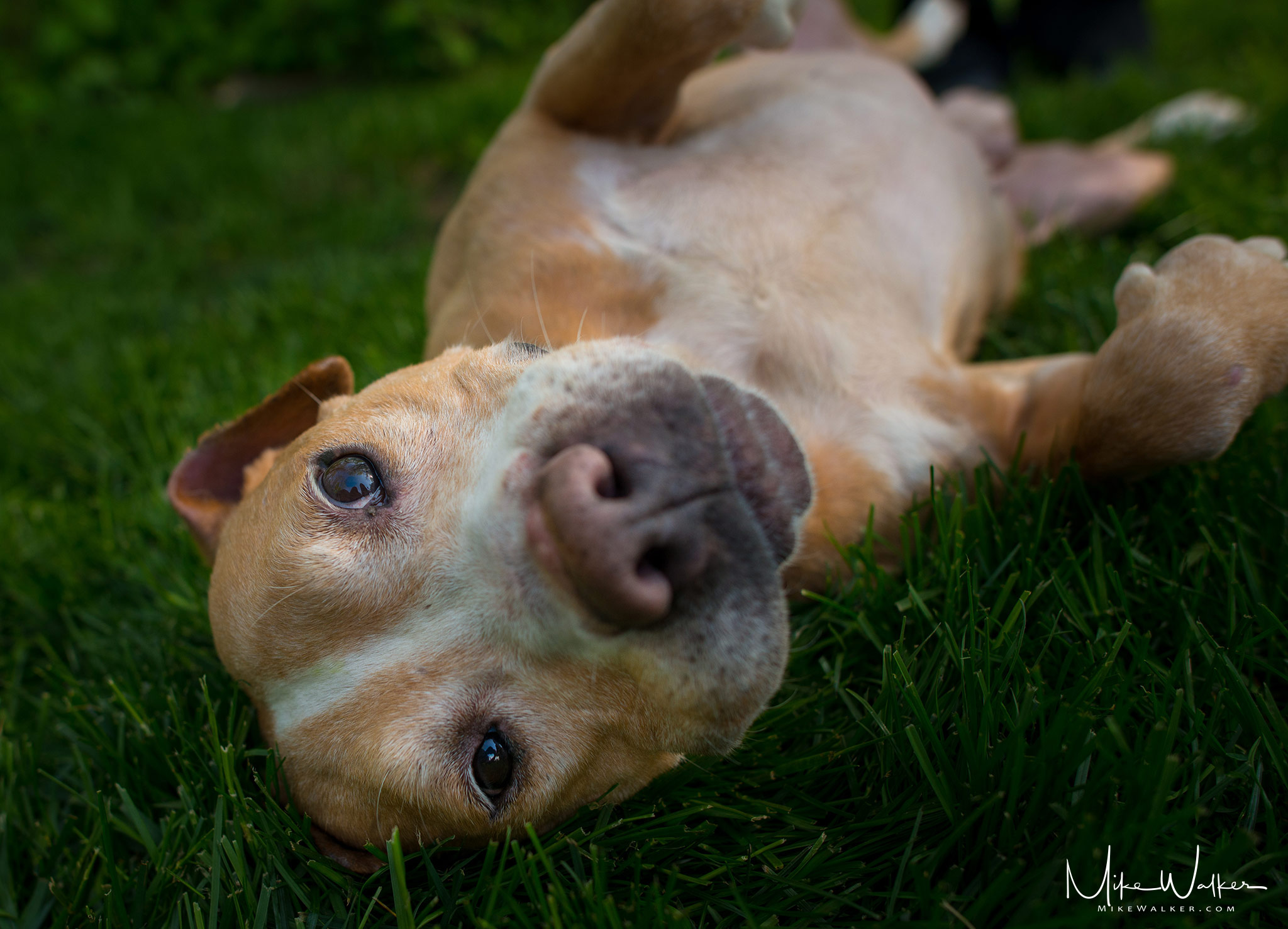 Picture of a rescue dog in the grass for Green Mile Rescue. Animal photography by Mike Walker.